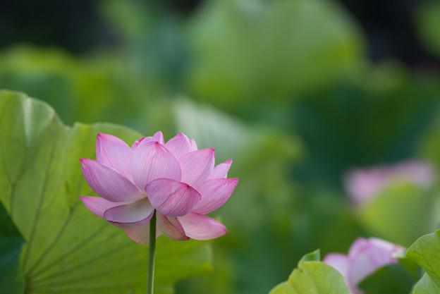 中井蓮池の里【蓮の花】2-4