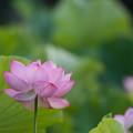 写真: 中井蓮池の里【蓮の花】2-4