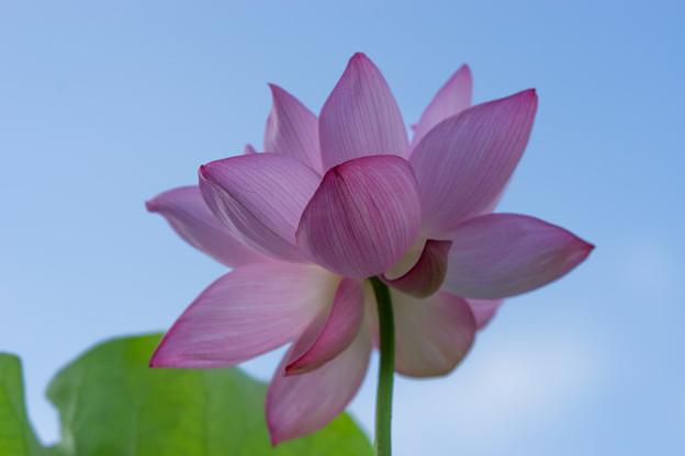 中井蓮池の里【蓮の花】2-6