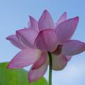写真: 中井蓮池の里【蓮の花】2-6