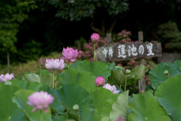中井蓮池の里【蓮の花】3-1