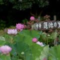 写真: 中井蓮池の里【蓮の花】3-1
