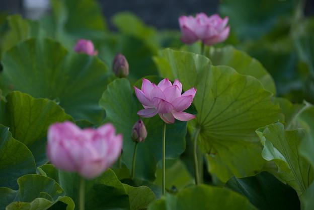中井蓮池の里【蓮の花】3-2