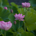 写真: 中井蓮池の里【蓮の花】3-2