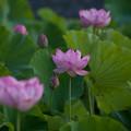 Photos: 中井蓮池の里【蓮の花】3-2