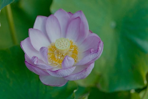 中井蓮池の里【蓮の花】3-5