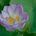 写真: 中井蓮池の里【蓮の花】3-5