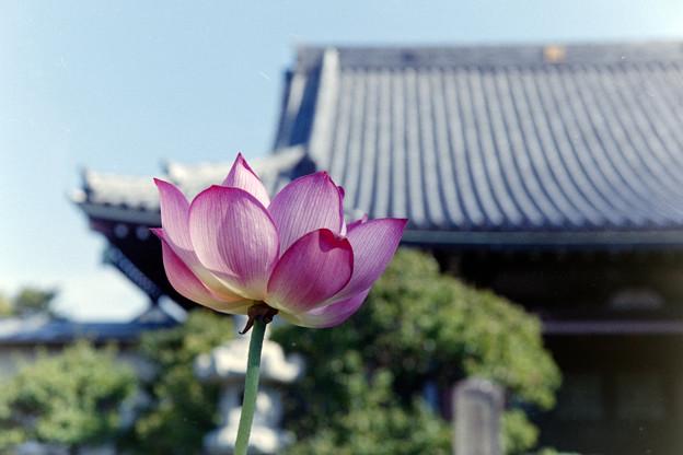 要法寺【蓮の花】1
