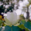 写真: 要法寺【蓮の花】3