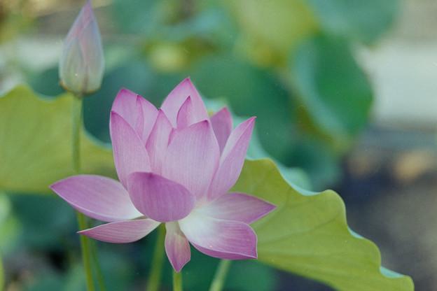 要法寺【蓮の花】4