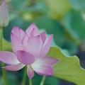 写真: 要法寺【蓮の花】4