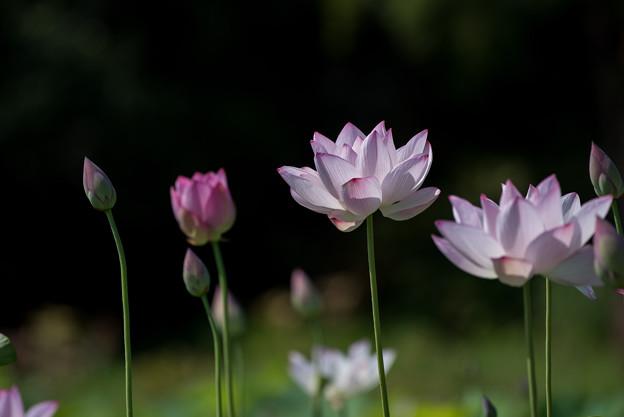 写真: 花菜ガーデン【蓮の花】3
