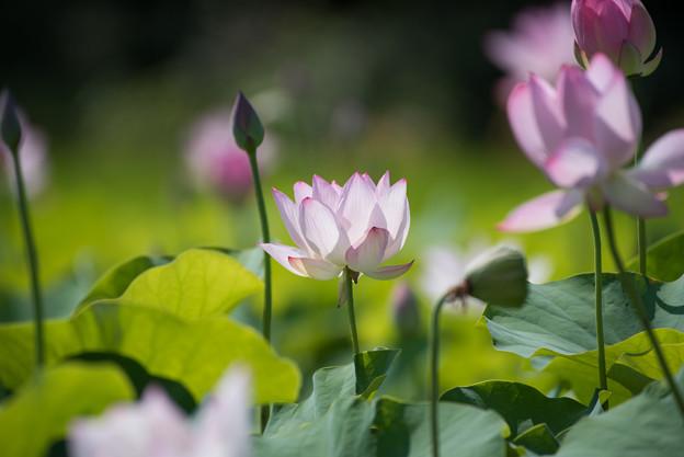 写真: 花菜ガーデン【蓮の花】4