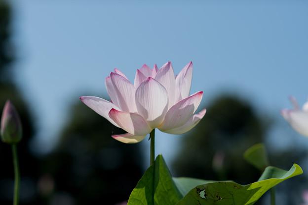 花菜ガーデン【蓮の花】5