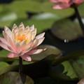 花菜ガーデン【睡蓮】4