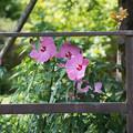 写真: 花菜ガーデン【タイタンビカス】1