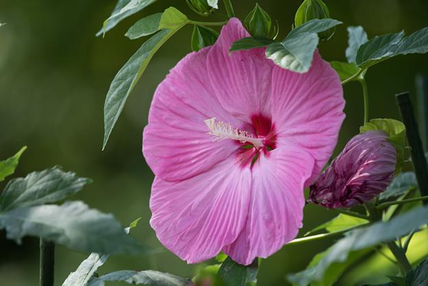 写真: 花菜ガーデン【タイタンビカス】2