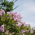写真: 花菜ガーデン【百日紅】2