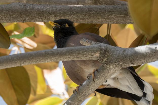 シドニー港の木にいた野鳥(インドハッカ)