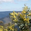 Photos: ブルーマウンテンズ国立公園【黄色い花「ロゼラ」】