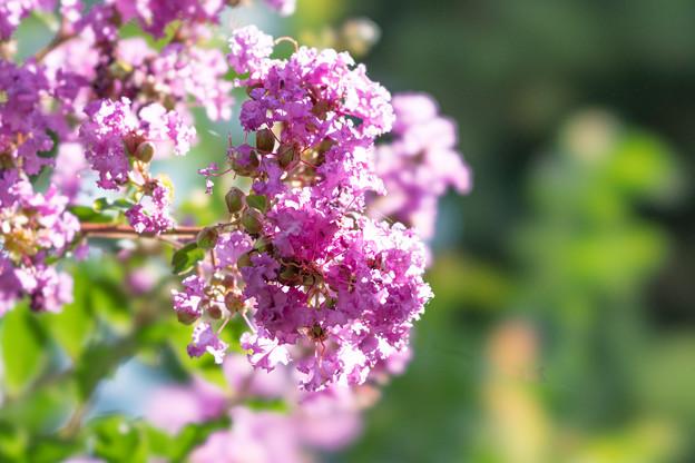 大船フラワーセンター【紫色の百日紅】1