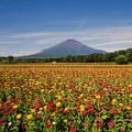 富士五湖巡り【花の都公園:ジニアと富士】1