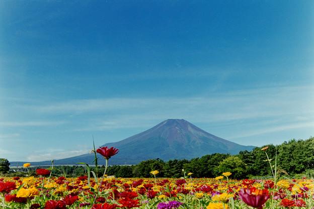 富士五湖巡り【花の都公園:ジニアと富士】2
