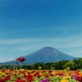 Photos: 富士五湖巡り【花の都公園:ジニアと富士】2