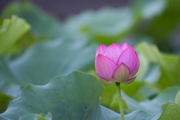 薬師池公園【蓮の花】1