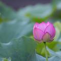写真: 薬師池公園【蓮の花】1