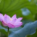 薬師池公園【蓮の花】3