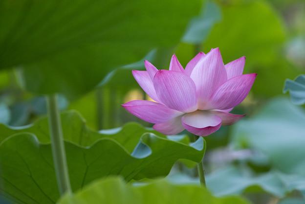 薬師池公園【蓮の花】5