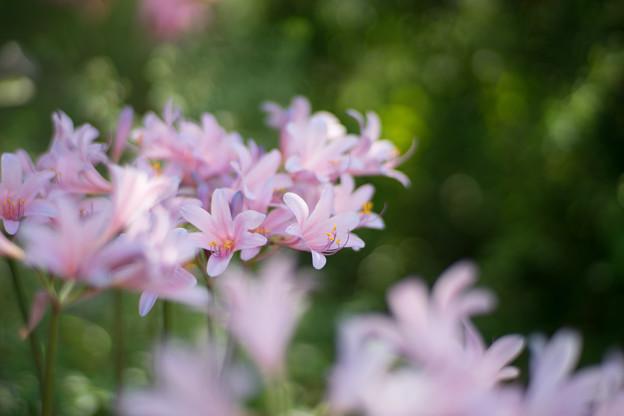 花菜ガーデン【リコリス_1_f1.4】Planar85mm