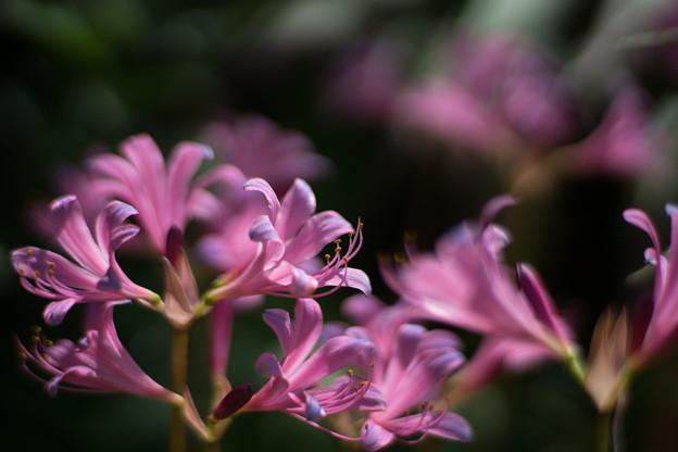 花菜ガーデン【リコリス_4_f1.4】Planar85mm