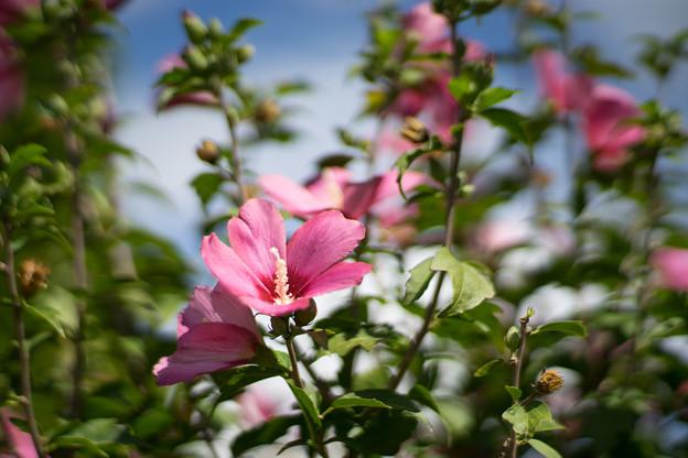 花菜ガーデン【ムクゲ_4_f1.4】Planar85mm