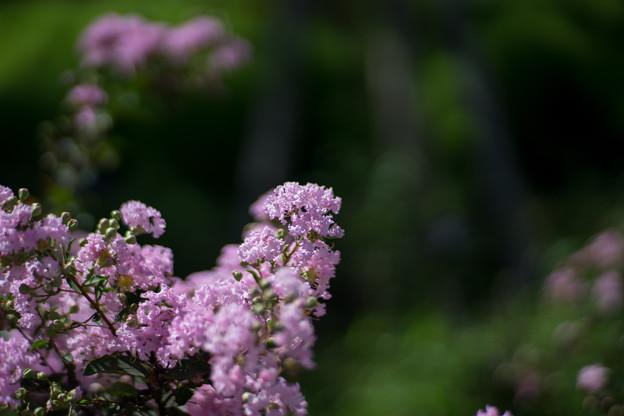 花菜ガーデン【サルスベリ_4_f1.4】Planar85mm