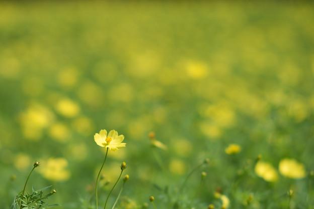 昭和記念公園【キバナコスモス】06
