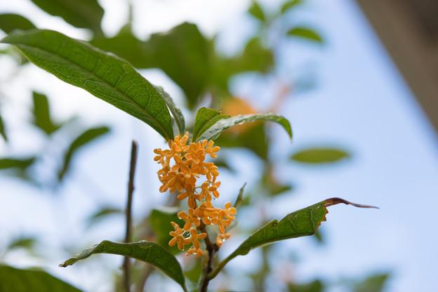 庭に咲いた花【金木犀】1