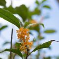 写真: 庭に咲いた花【金木犀】1