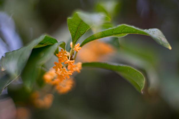 庭に咲いた花【金木犀】3