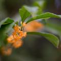 写真: 庭に咲いた花【金木犀】3