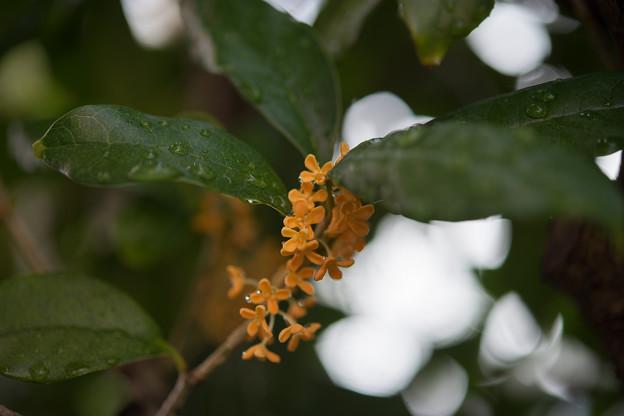 庭に咲いた花【金木犀】4