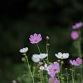 昭和記念公園【花の丘のコスモス】1-3