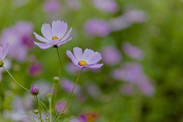 昭和記念公園【花の丘のコスモス】2-1