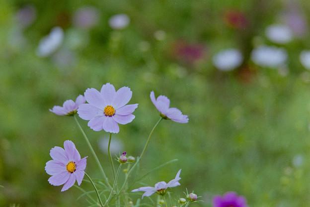 昭和記念公園【花の丘のコスモス】2-2