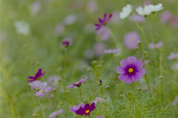 昭和記念公園【花の丘のコスモス】2-7