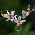 庭に咲く花【ホトトギス】3