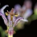 庭に咲く花【ホトトギス】5