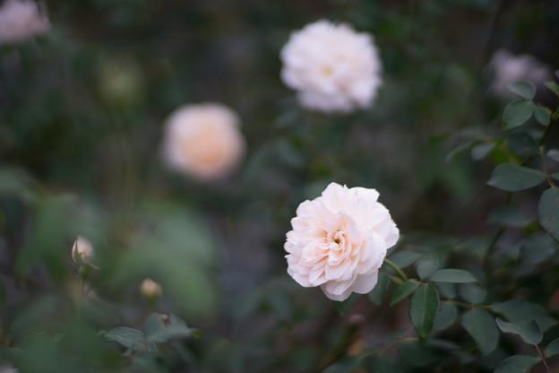生田緑地ばら苑【バラ:リッチフィールド・エンジェル】2_Planar_85mm_f1.4