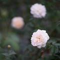 写真: 生田緑地ばら苑【バラ:リッチフィールド・エンジェル】2_Planar_85mm_f1.4